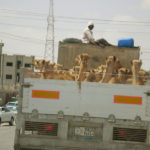 Truck Full of Camels