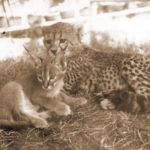 Ednas pet cheetah, lynx 1968