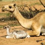 Camel mother