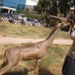 Garanuk (Gazelle)