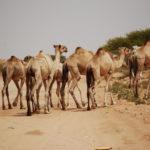 Lots of camels