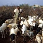 Nomads, goats