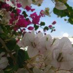 Bougainvillia in bloom