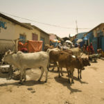 Cattle in Hargeisa